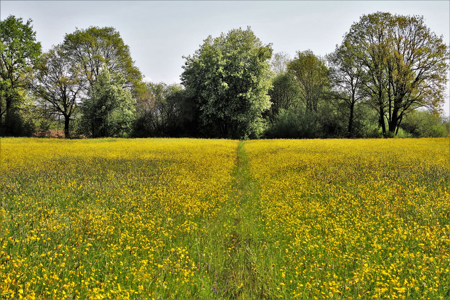 Field Of Buttercups Wallpaper Mural