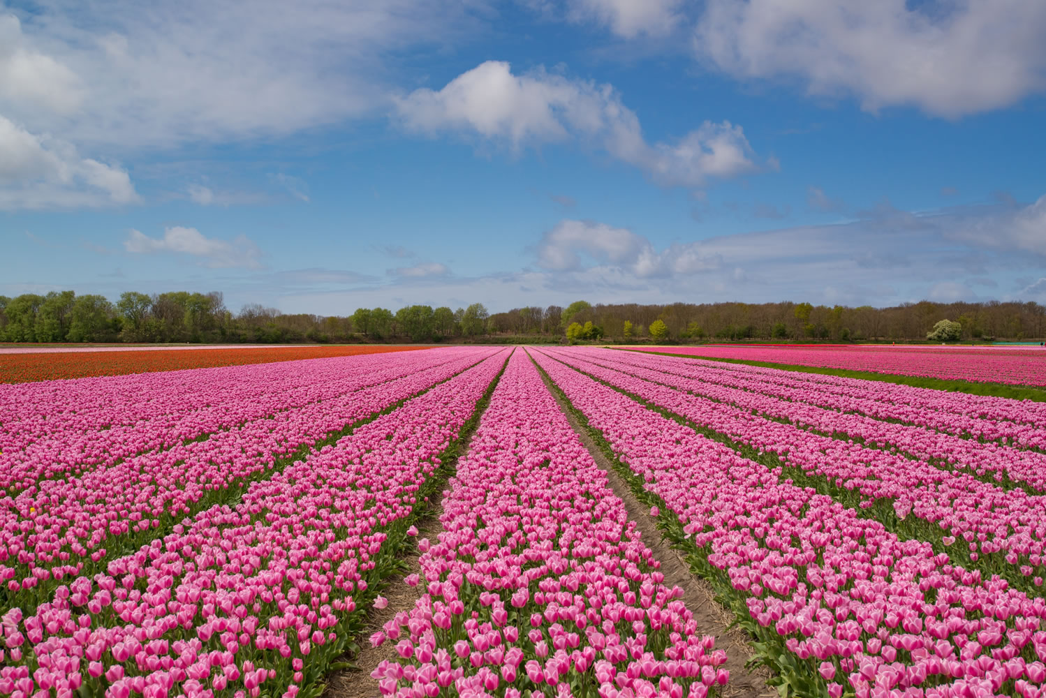 Field Of Pink Flowers Wallpaper Mural