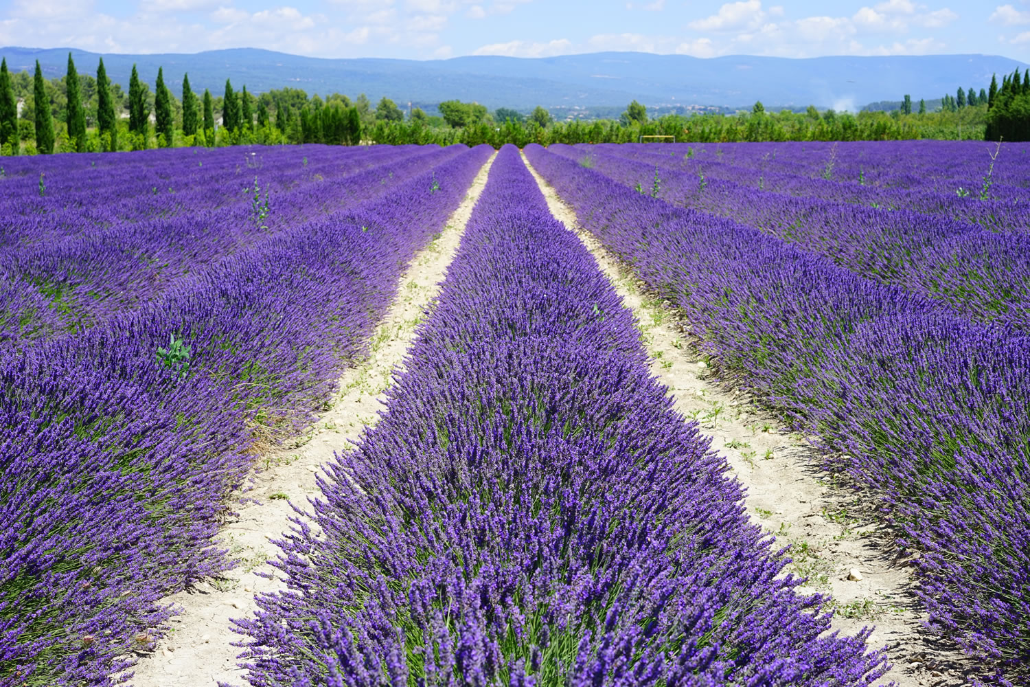 Lavender Fields Wallpaper Mural