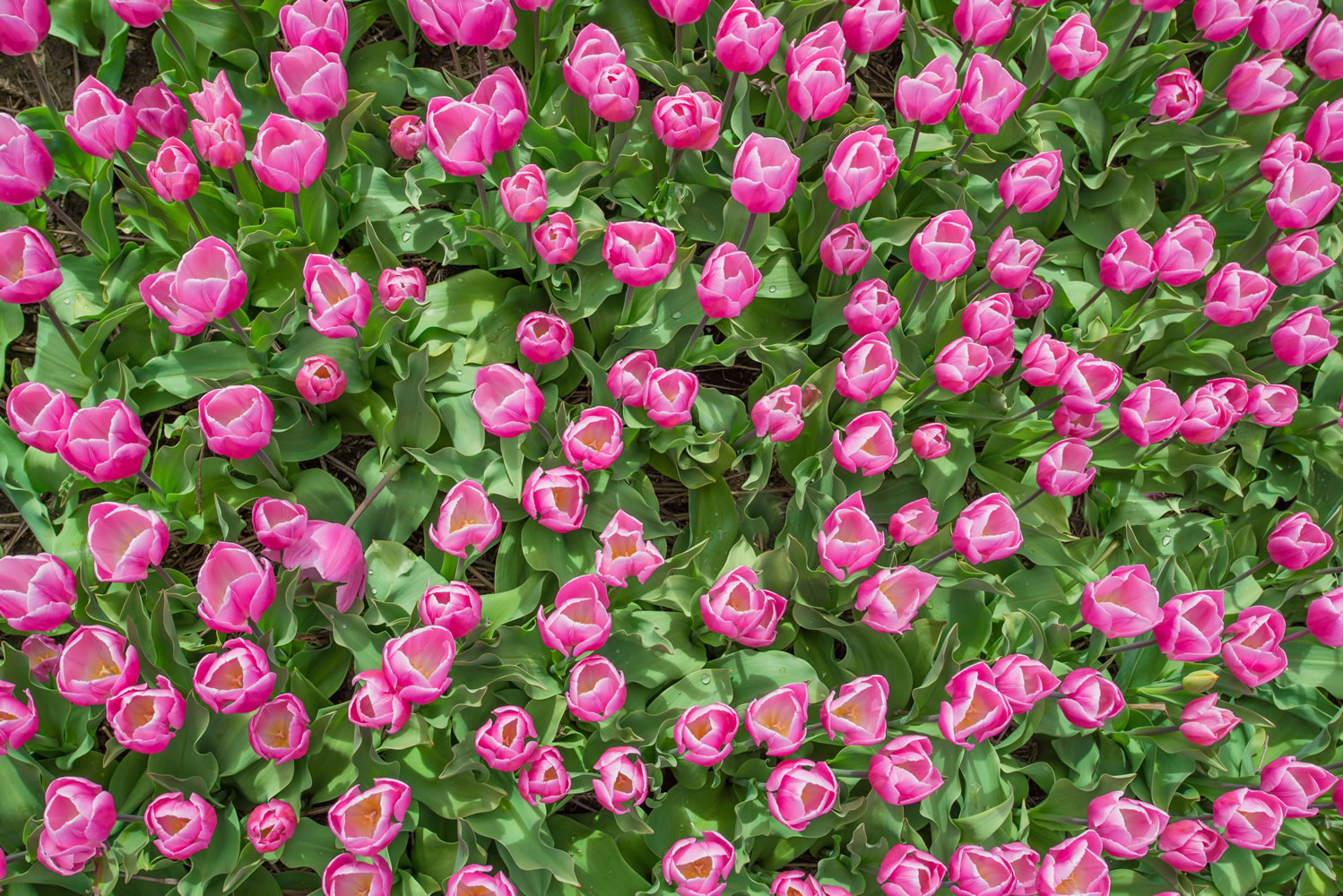 Pink Tulips Ariel Wallpaper Mural