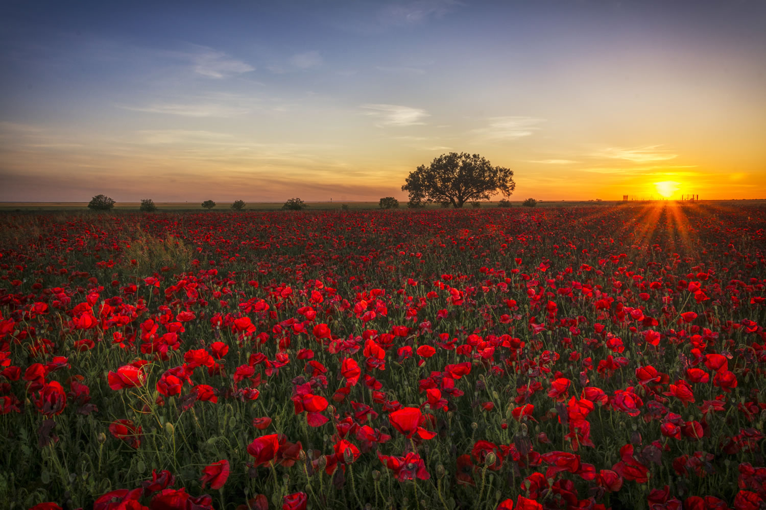 Poppy Field At Dusk Wallpaper Mural