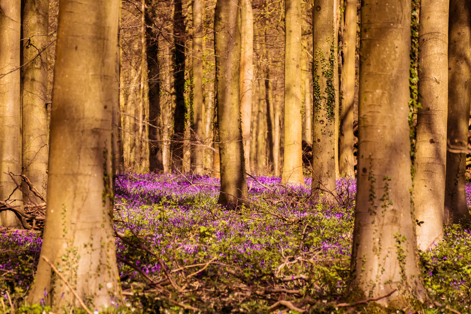 Bluebells Wallpaper Mural