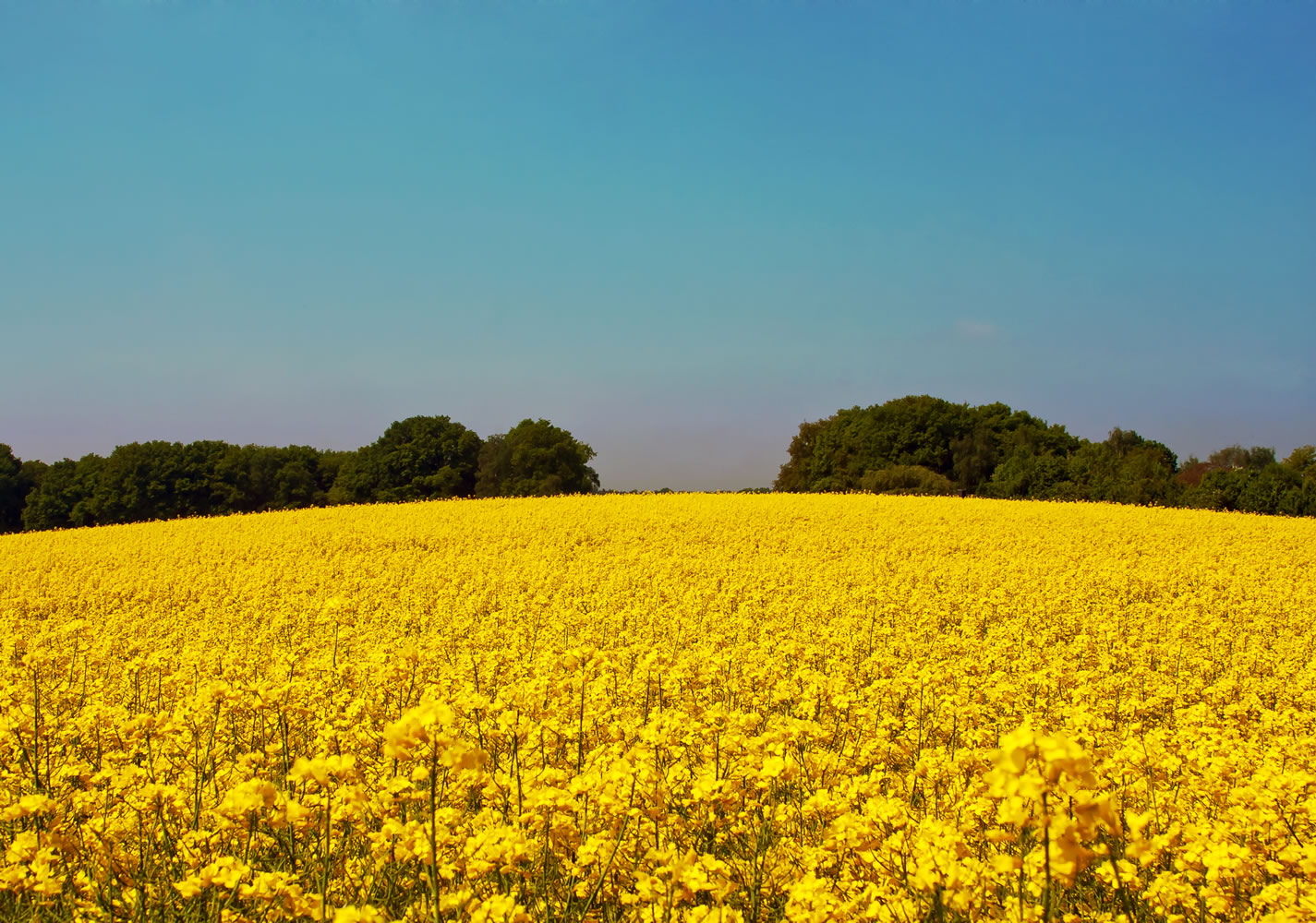 Rapeseed Field Wallpaper Mural