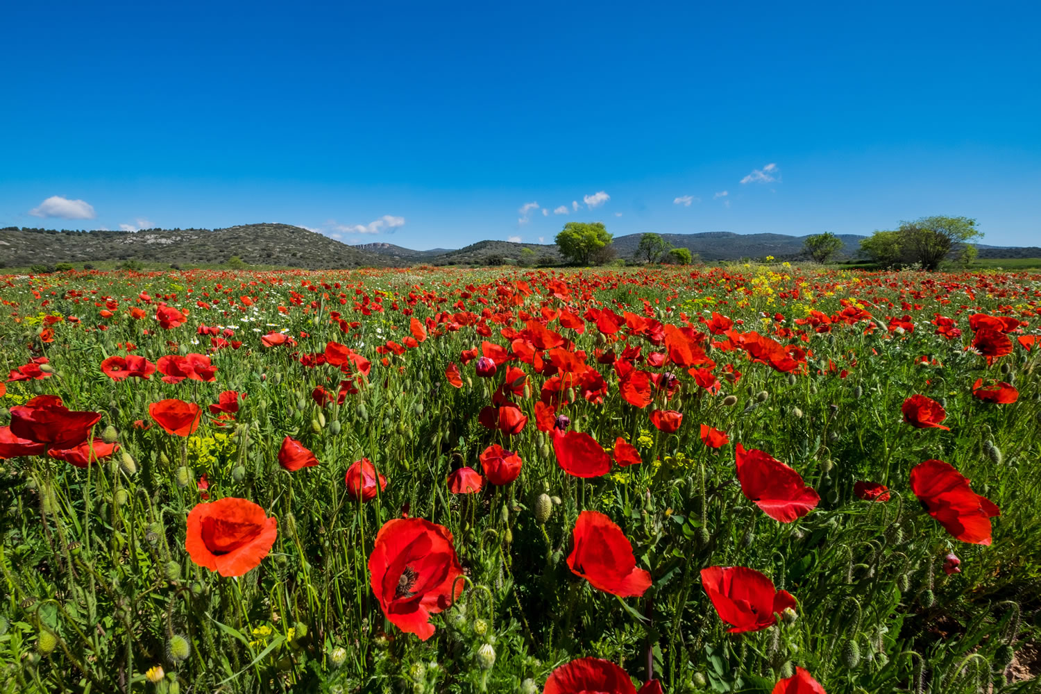 Red Poppy Field Wallpaper Mural