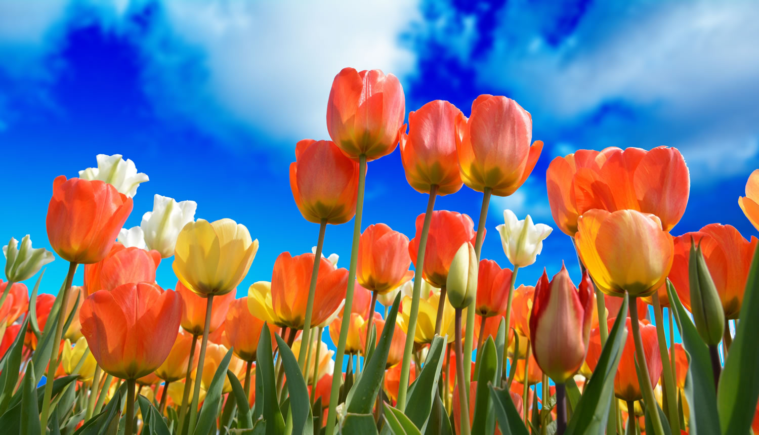 Tulips And Blue Sky Wallpaper Mural