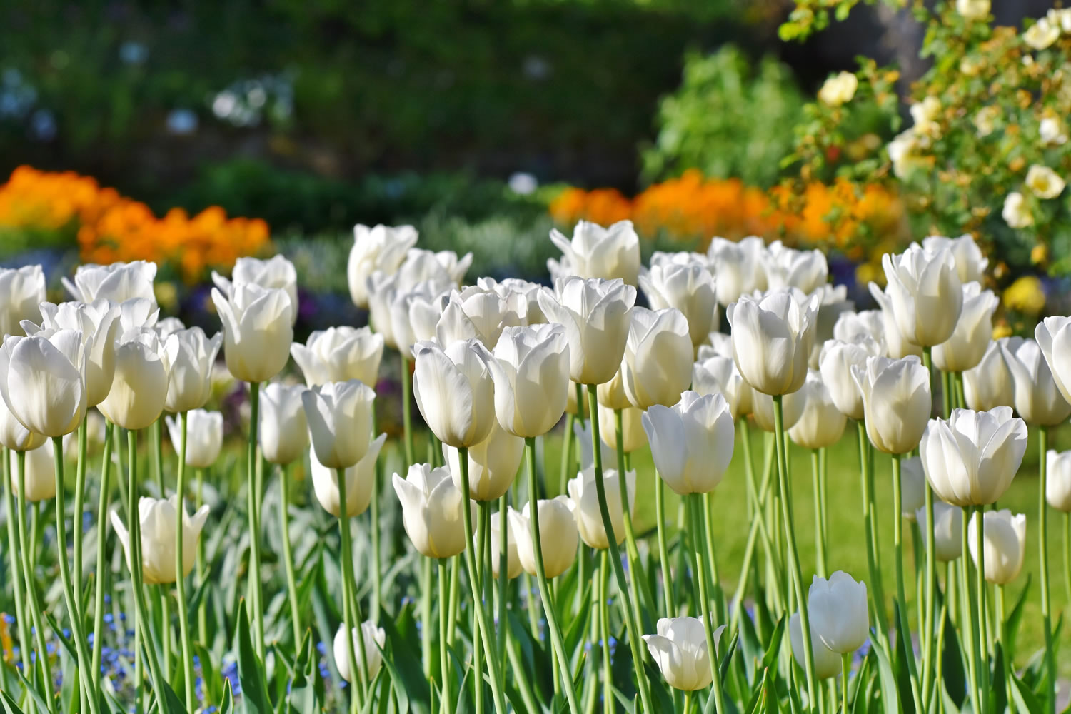 White Tulips Wallpaper Mural