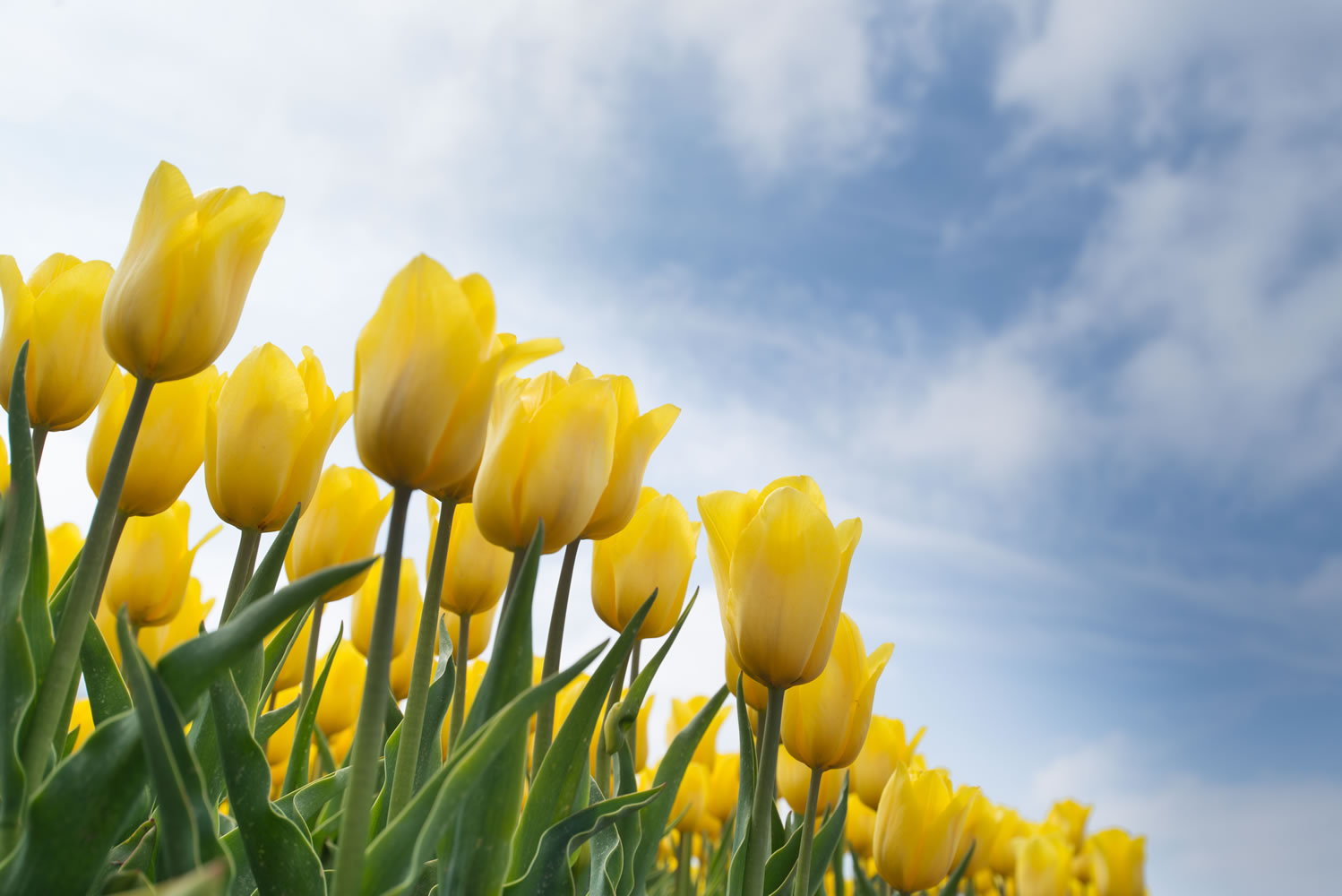 Yellow Tulips Wallpaper Mural  (2)